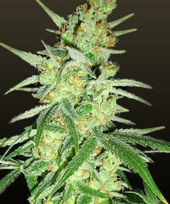 Skywalker cannabis strain